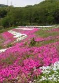 小平の芝桜(4月27日撮影)