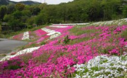 Kodaira of moss phlox (April 27 shooting)