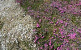 Kodaira of moss phlox (May 8 shooting)
